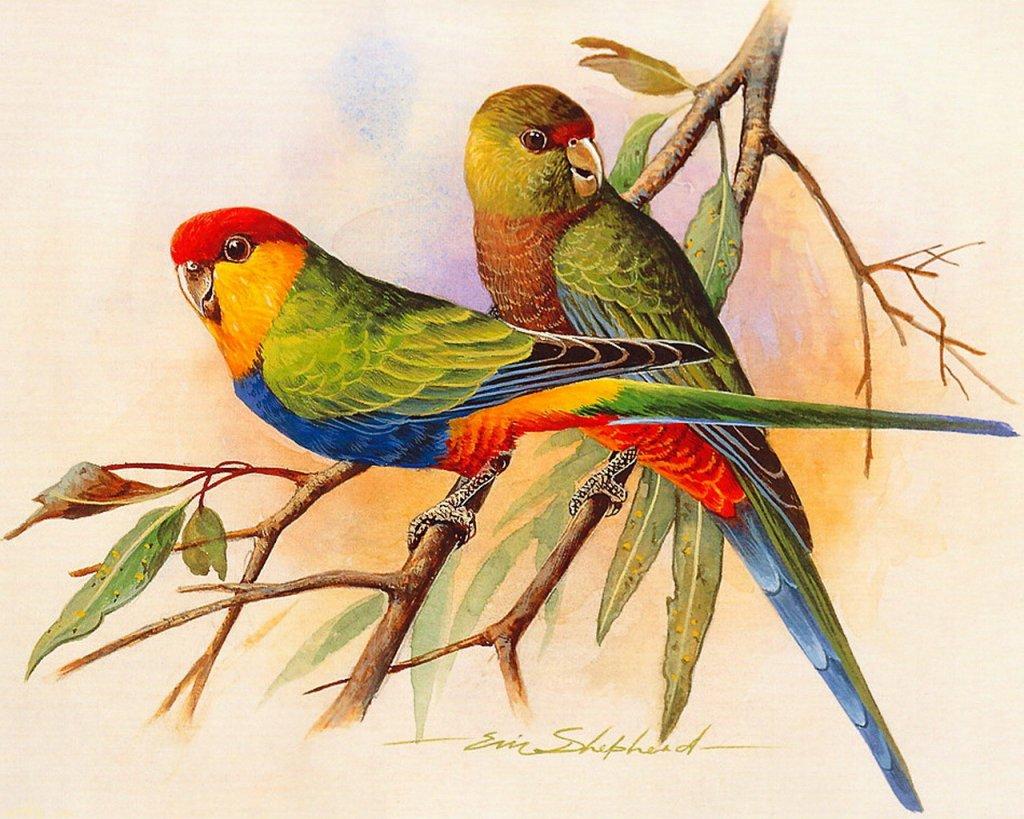 Скачать обои птицы, красношапочный попугай, Eric Shepherd 1024x768