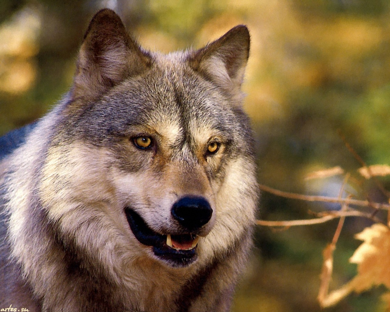 фото волка одиночки скачать