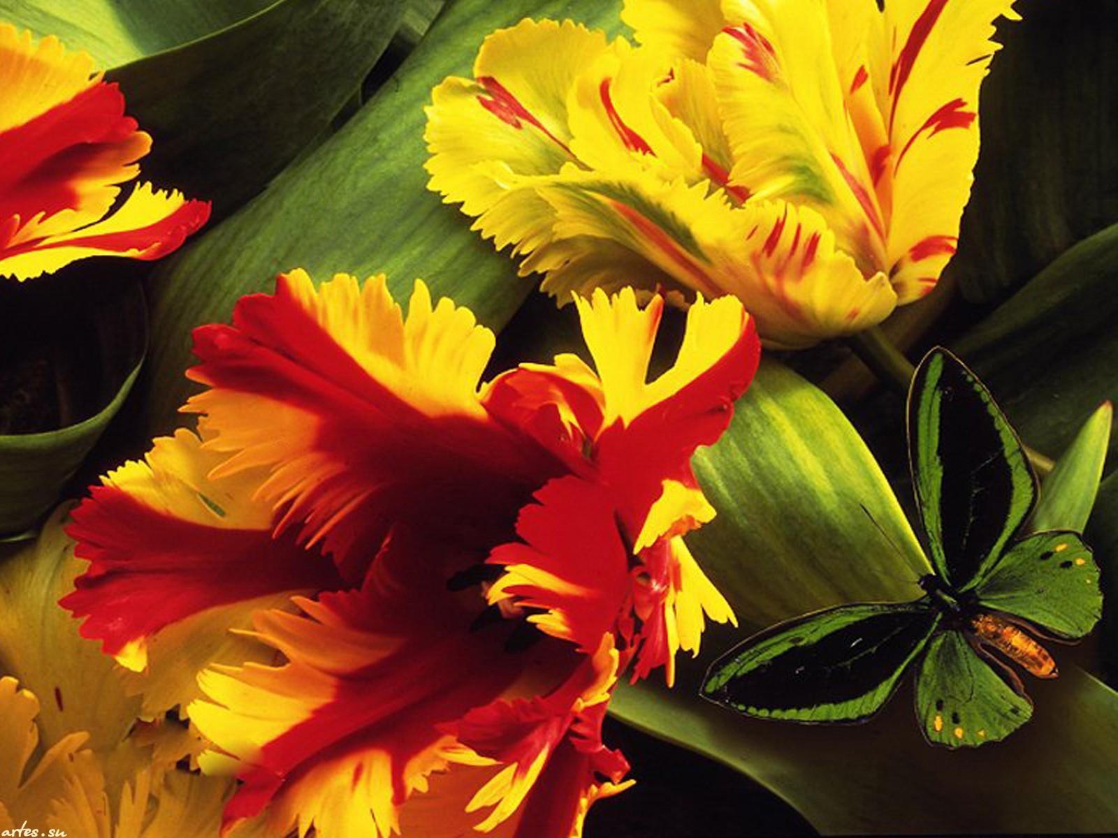 Уникальные фото красных и белых тюльпанов